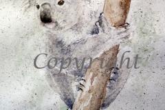 Koala_IMG_9215_sml_C